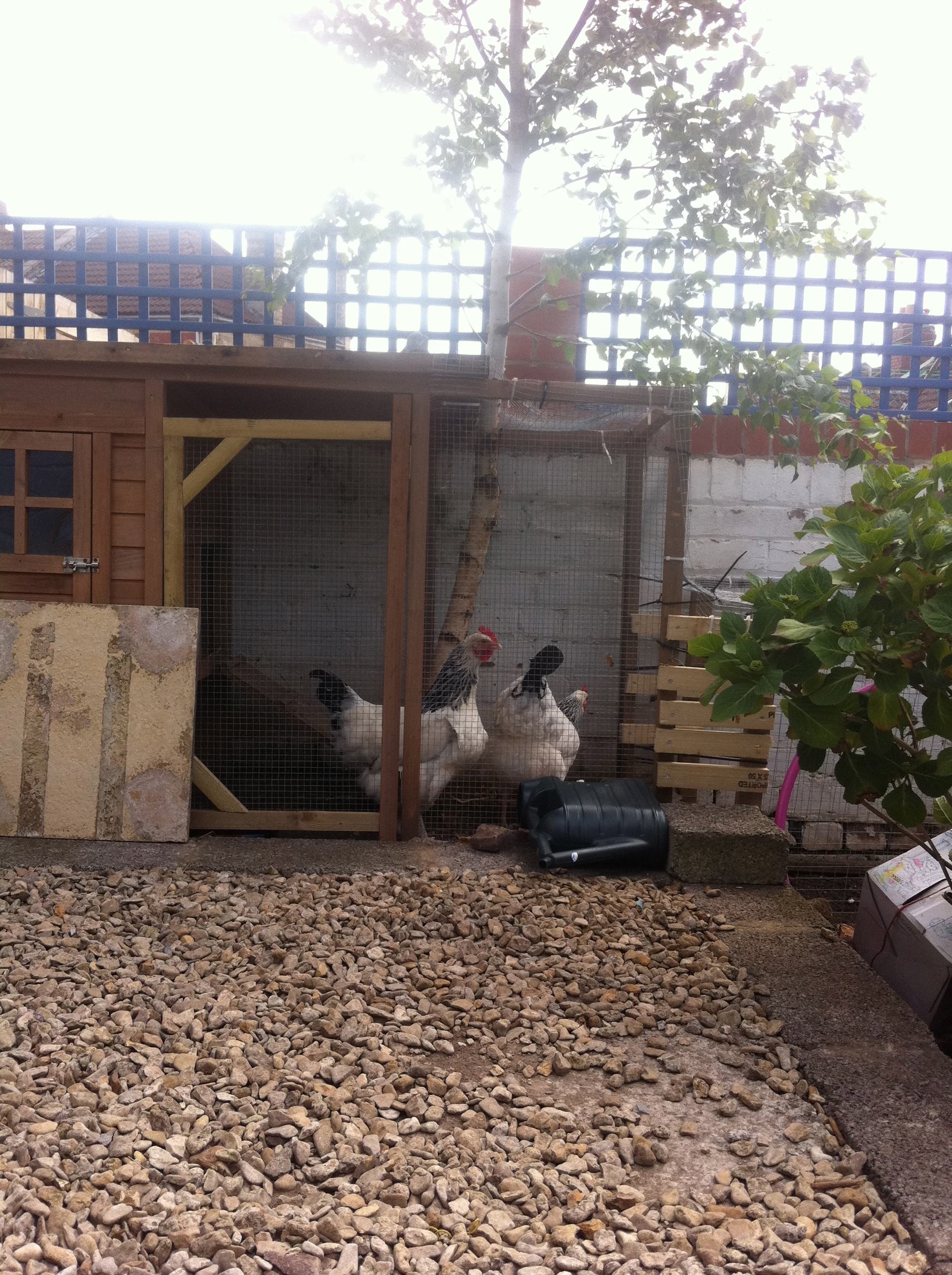 Cluck cluck go the sound of the hens
